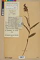 Neuchâtel Herbarium - Cephalanthera rubra - NEU000046815.jpg