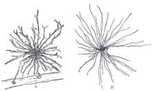 Le ressenti sensoriel dans L'Esprit  Guérisseur 220px-Neuroglia