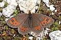 Nicholl's ringlet (Erebia rhodopensis) Bulgaria.jpg