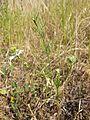 Nigella arvensis sl24.jpg