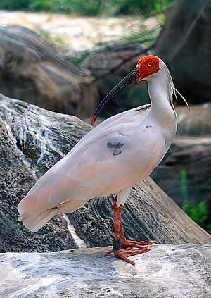 Crested ibis - Image: Nipponia nippon