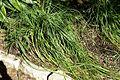 Nolina texana - Zilker Botanical Garden - Austin, Texas - DSC08776.jpg
