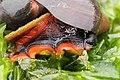 Norris's Top Snail - Norrisia norrisii (43461316831).jpg