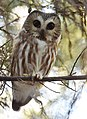 Northern Saw-whet Owl (31782221132).jpg