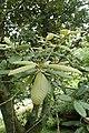 Notholithocarpus densiflorus kz03.jpg