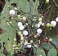 Notopleura macrophylla? (14338857041).jpg