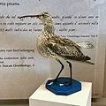 Numenius tenuirostris at University of Pisa Natural History Museum.jpg