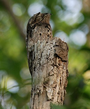 Potoo - Common potoo camouflaged on a stump