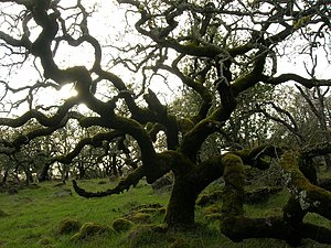 Oak Tree in Annadel State Park, Sonoma Co., Ca...