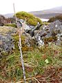 Oak seedling planted on Meall a' Choire - geograph.org.uk - 864835.jpg