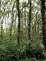 Oaks in Grove Woods, Rayleigh - geograph.org.uk - 210143.jpg