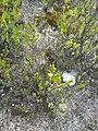Oedera uniflora 27302485.jpg