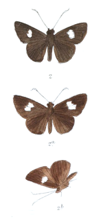 <i>Oerane</i> genus of insects