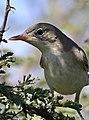 Olive-tree warbler, Hippolais olivetorum, at Zaagkuildrift Road near Kgomo Kgomo, Limpopo, South Africa (33525145466).jpg