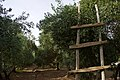 Olive orchard in Koye in the Arbil Governorate of the Kurdistan Region of Iraq 03.jpg