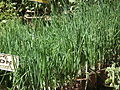 Onion plant from lalbagh 2324.JPG