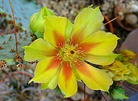 Opuntia gosseliniana 01.JPG