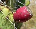 Opuntia phaeacantha 4.jpg
