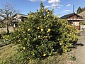 Orange tree near Shin-Toyotsu Station 2.jpg