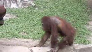 Archivo:Orangutan Taman Safari Indonesia.ogv