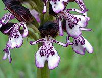 Orchis purpurea6.jpg