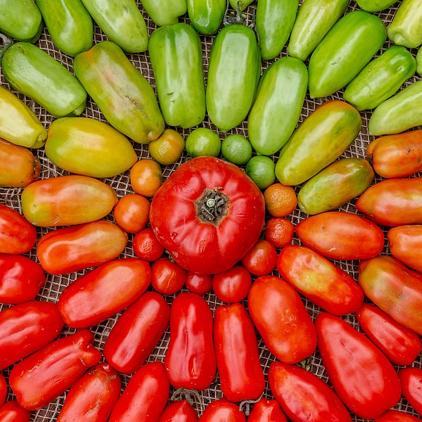 File:Organic home-grown tomatoes - unripe to ripe.jpg