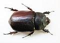 Oryctes nasicornis 1369.JPG