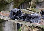 Osnabrück - Zoo - Silberfuchs 02.jpg