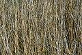 Ossiach Alt-Ossiach Bleistätter Moor Schilfrohr 23052019 7025.jpg