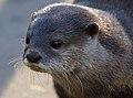 Otter 1 (8148848112).jpg
