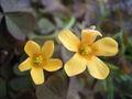Oxalis corniculata bloemen.jpg