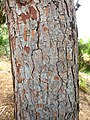 P. halepensis-bark-1.jpg