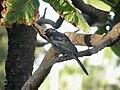 PSouthern black flycatcher Durban.jpg