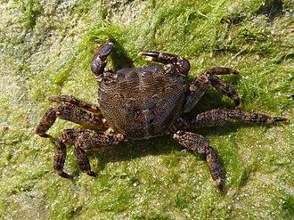 Semiaquatic - Pachygrapsus marmoratus, a semiterrestrial crab