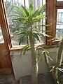 Pachypodium lamerei var. lamerei (Apocynaceae) plant.jpg