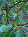 Pacific Madrone (10334915843).jpg