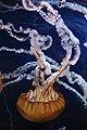 Pacific Sea Nettles (Chrysaora fuscescens) (7007293326).jpg