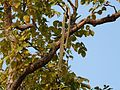 Padri Tree (3307323250).jpg