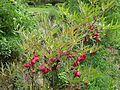 Paeonia delavayi - Flickr - peganum.jpg