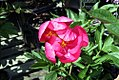 Paeonia lactiflora Clown 1zz.jpg