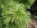 Paeonia tenuifolia 2017-04-20 8139.jpg
