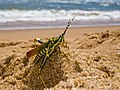 Painted Grasshopper on the Beach (20839624554) (3).jpg