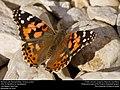 Painted Lady (Nymphalidae, Vanessa cardui) (30505560204).jpg