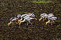 Painted Storks (24027109529).jpg