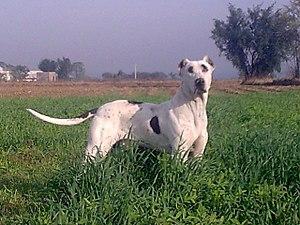 Bully Kutta - Wikipedia