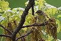 Palm Warbler (33920191160).jpg