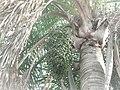 Palmeras en Trenque Lauquen (plantas 05) foto 06 planta A.JPG