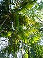 Palmetum Townsville.jpg