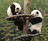 Panda nature reserve in Sichuan