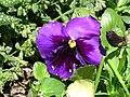 Pansy violets.jpg